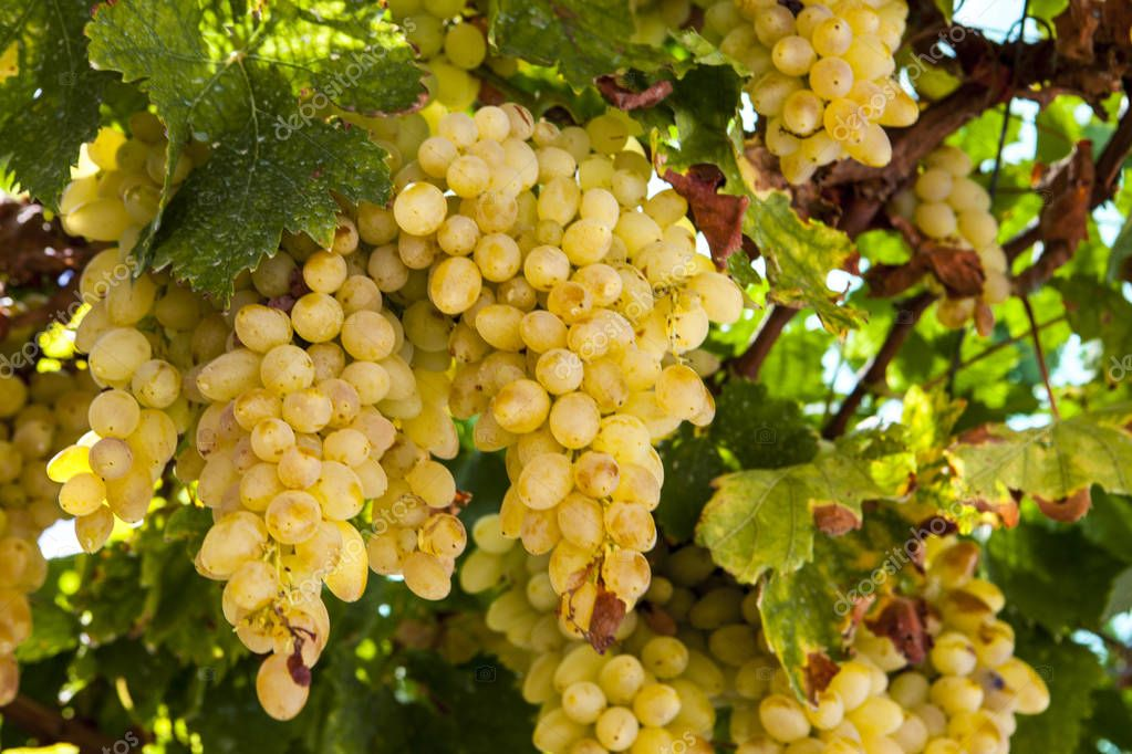 Juicy ripe bunch of grapes Chardonnay. The vineyards of Greece