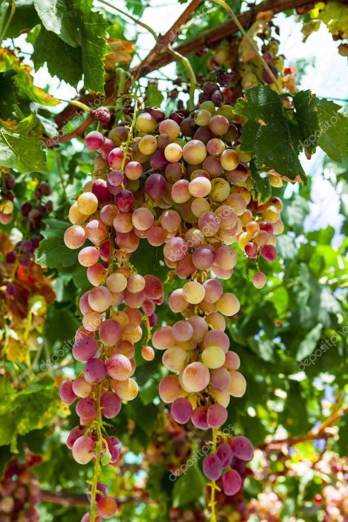 Juicy ripe bunch of grapes pink Muscat . The vineyards of Greece