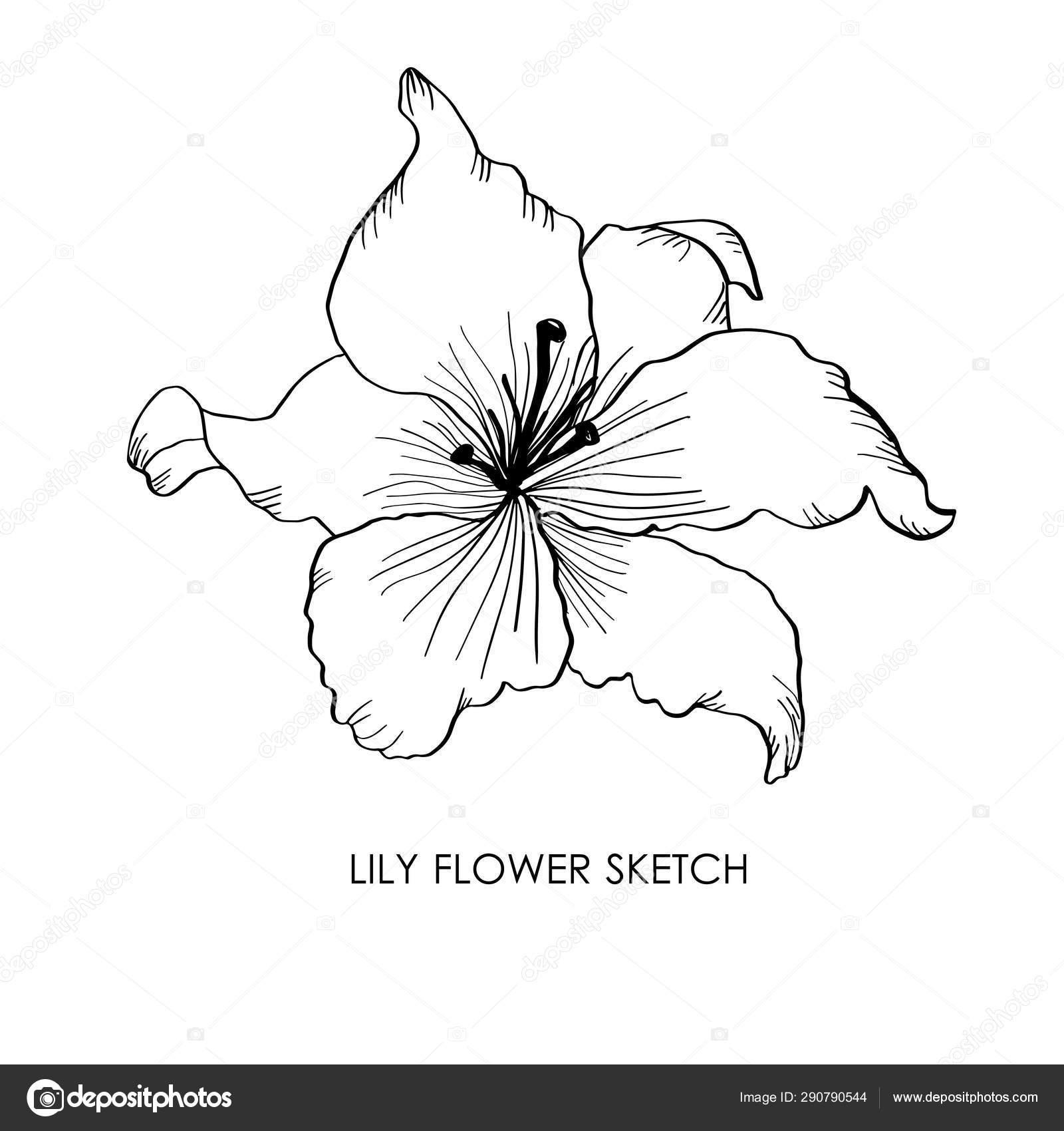 Lys Illustration De Vecteur De Fleur De Lys Dessinée à La