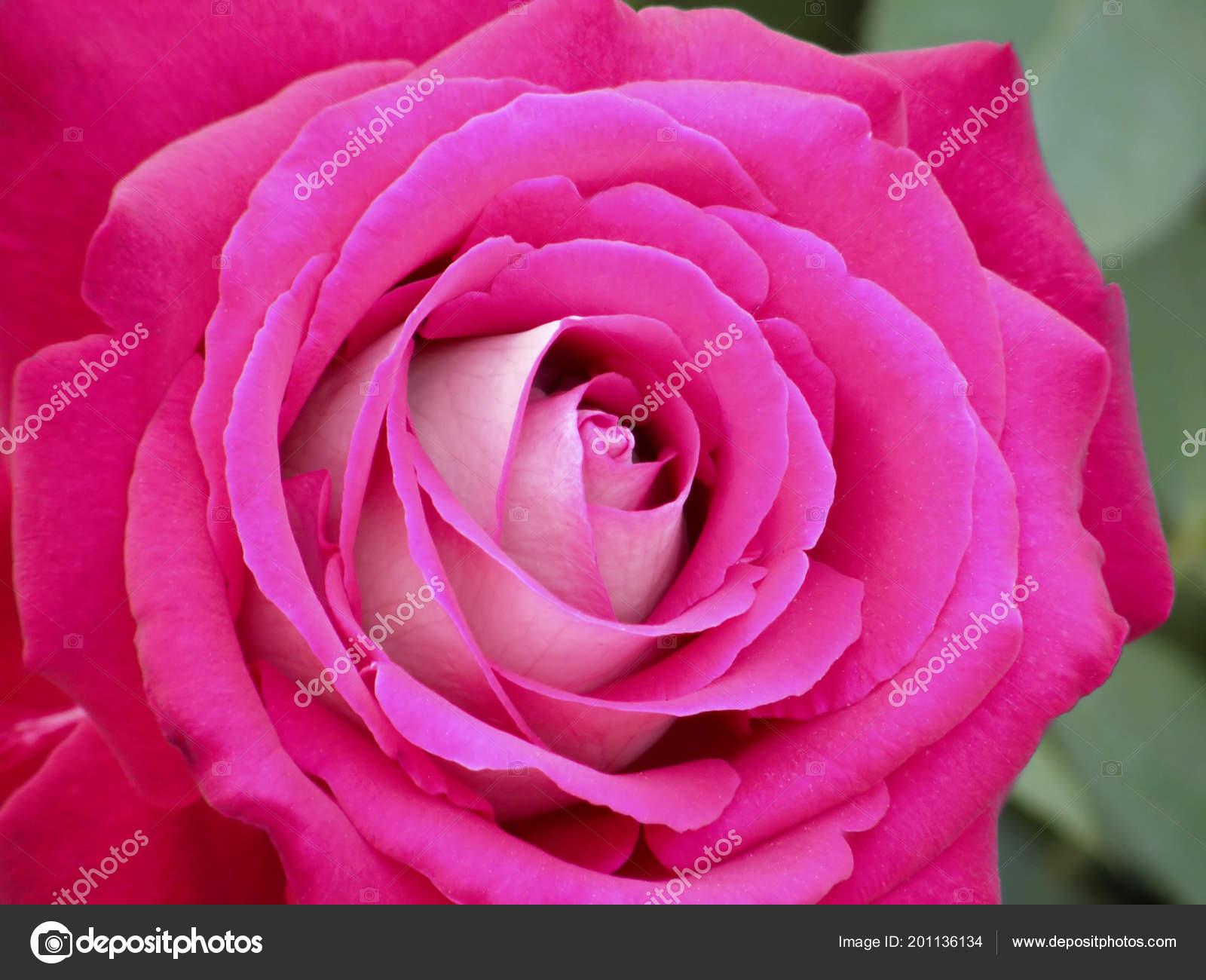 Very Beautiful Flowers Roses Fotos De Stock Tatiana53 201136134
