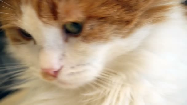 červená a bílá kočka tvář zblízka
