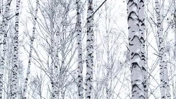 Krásné zimní březový les