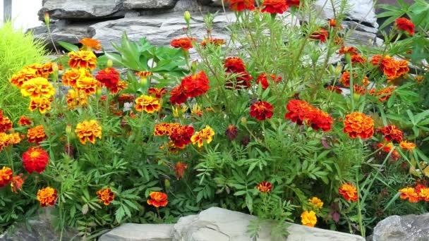 Marigoldse nebo Tagetes a rostliny v zahradě