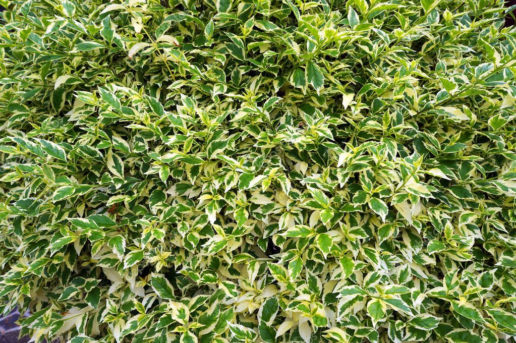 Lush foliage of waringin (Ficus benjamina).