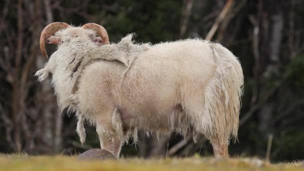 Ram grazing in the grass