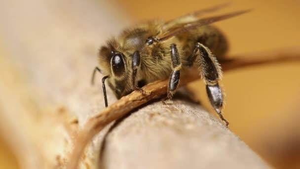 včela na větvi
