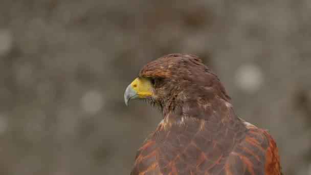 Adler, schaut sich um