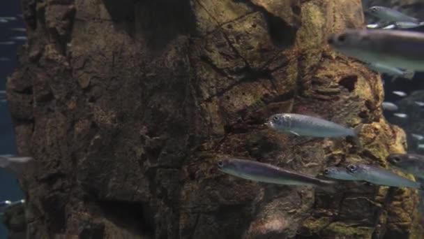 Mnoho ryb swimng