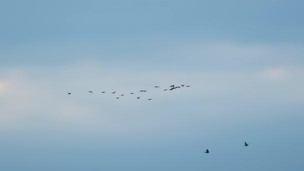 Gänseschwarm fliegt in Formation, verliert am Ende den Fokus