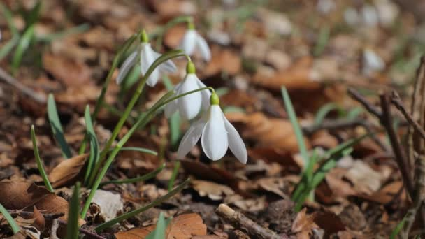Snowdrops on a meadow