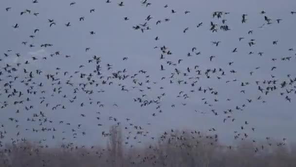 Viele Gänse fliegen
