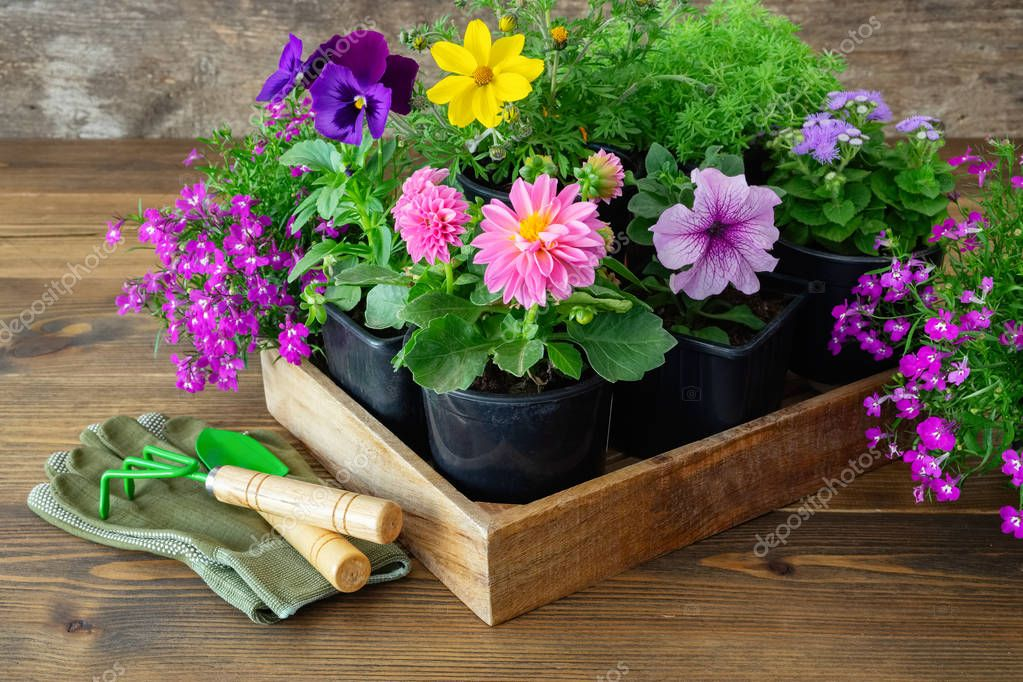 Seedlings of garden plants and flowers in flowerpots. Shovel, rake, gloves on wooden board.