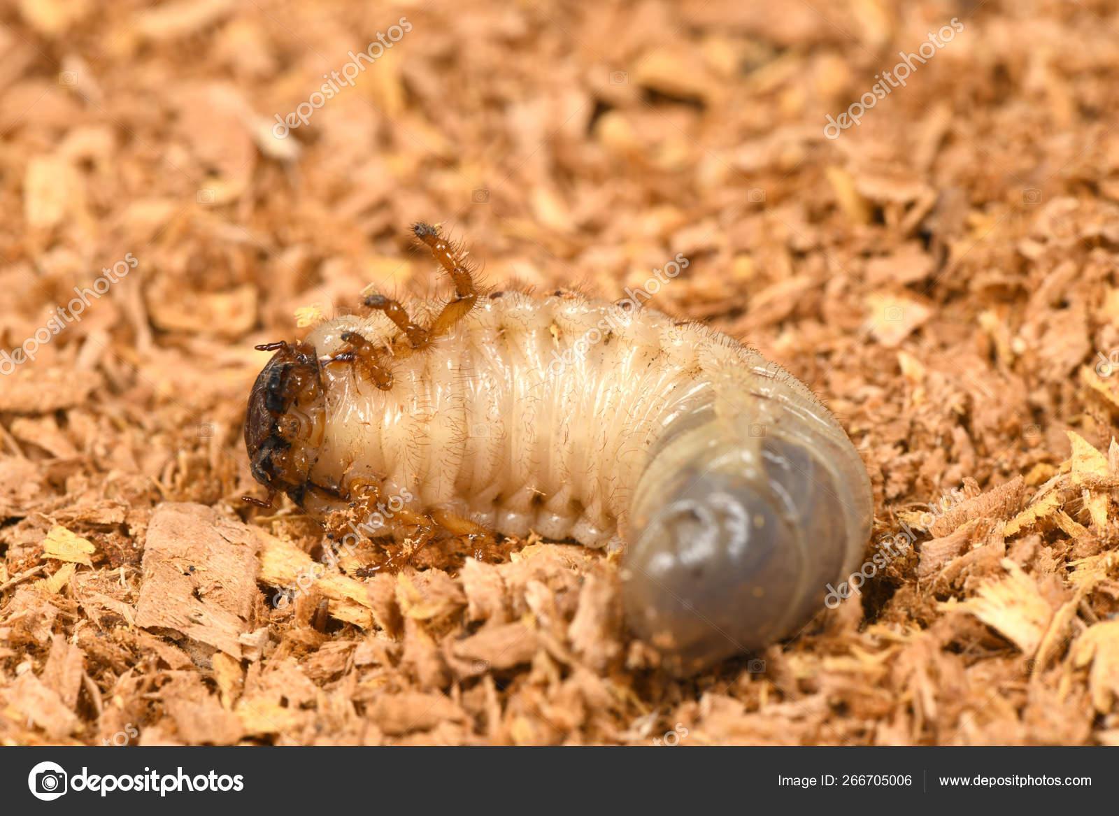 Larva Of A Rhinoceros Beetle Stock Photo C Akova777 266705006