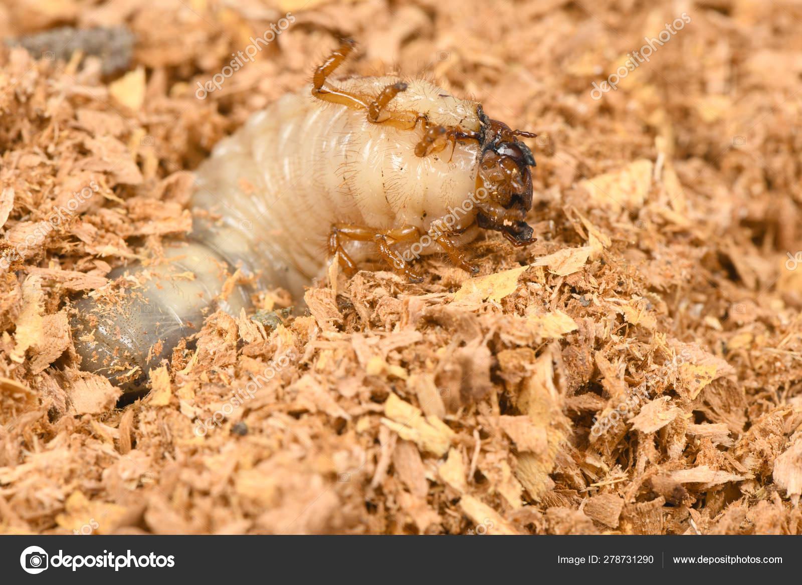Larva Of A Rhinoceros Beetle Stock Photo C Akova777 278731290