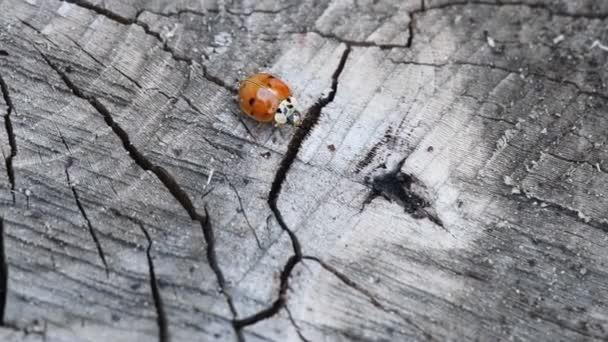 Beruška na dřevě. Rudá Beruška kráčí po kousku dřeva (Coccinellidae). Pomalý pohyb. Hd.