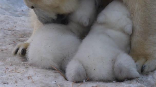 Polar Bear mom feeding twins cubs.