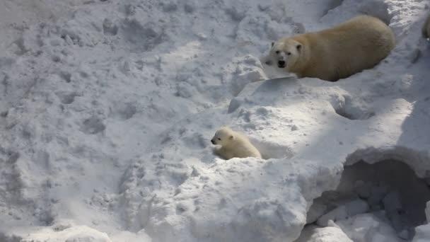 A kis kölykök fehér jegesmedve család. Újszülött jegesmedve kölykök játszani a hóban.