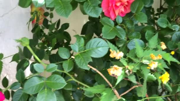Blooming rose bush