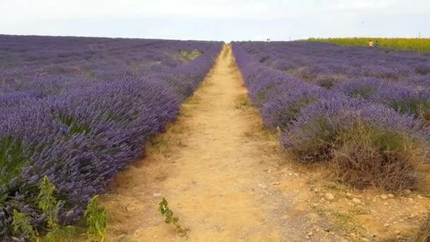 Levendula mező-Provence-ban