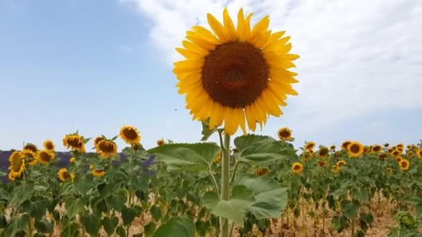 Slunečnice a levandulová pole na jihu Francie