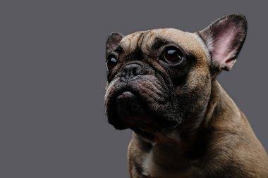 Close-up photo of a sad pug on a gray background.