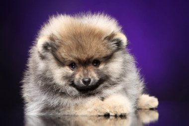 Close-up of a Spitz dog puppy lying on purple background. Baby animal theme