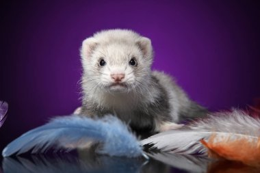 Baby Ferret in colored feathers on a violet background. Animal theme