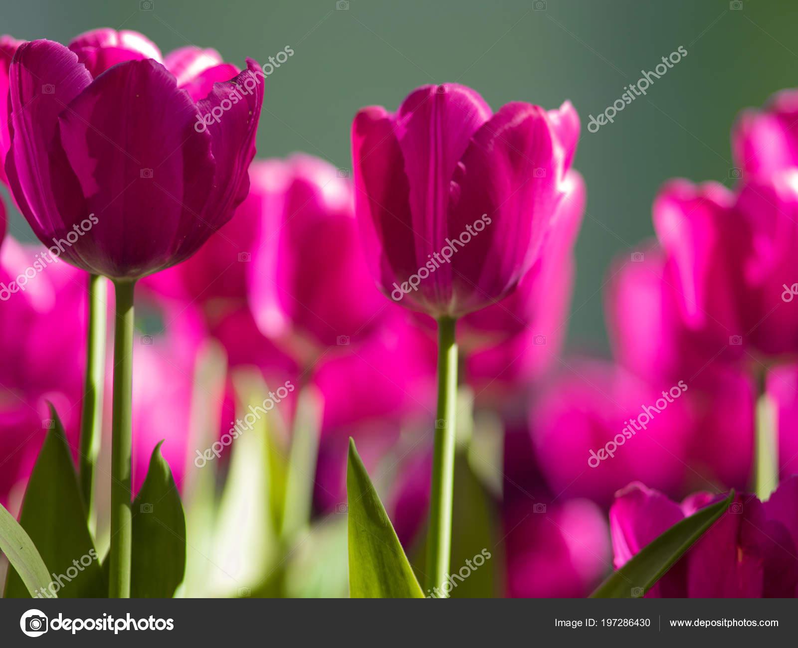 Tulipes pourpres. Plate-bande ou jardin avec différentes variétés de ...