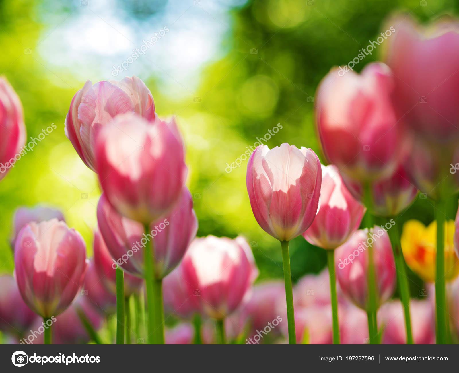 Tulipes roses. Plate-bande ou jardin avec différentes variétés de ...