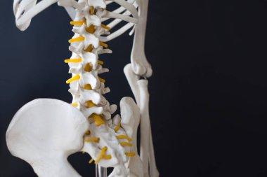 Fragment of a human skeleton on a black background. Pelvis and spine