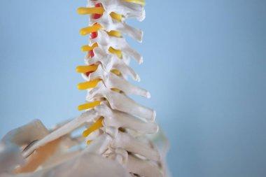 Cervical vertebrae. Neck. Fragment of human skeleton on blue background