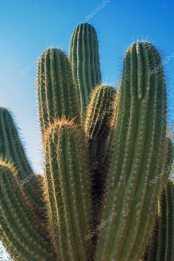 Top of the cactus, long spines. Beautiful natural texture, close-up