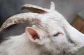 Fotografia Bianche e nero buffo capre nella fattoria