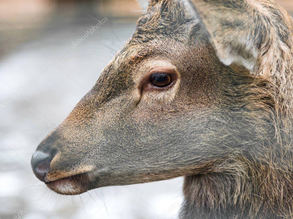 Deer close-up, Sad doe , close-up. Animals in the zoo