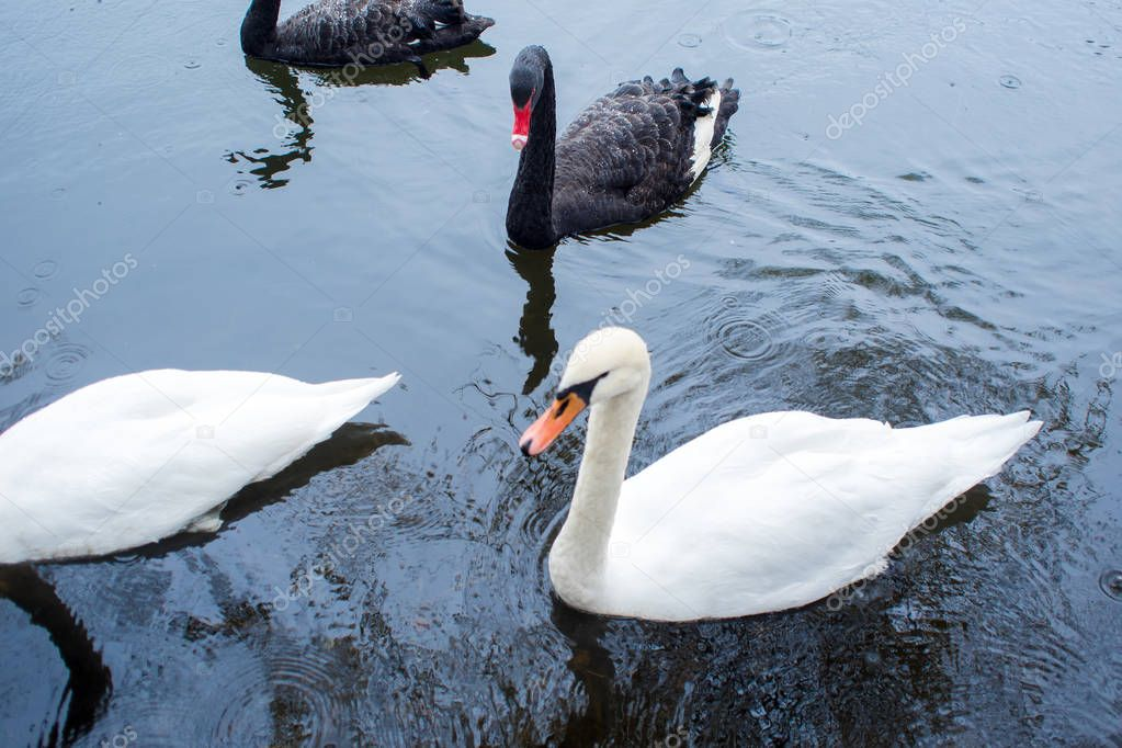Swans. Black and white swans together. Two pairs of birds