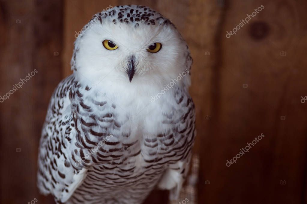 Beautiful snow-white owl. Seriously looking into frame