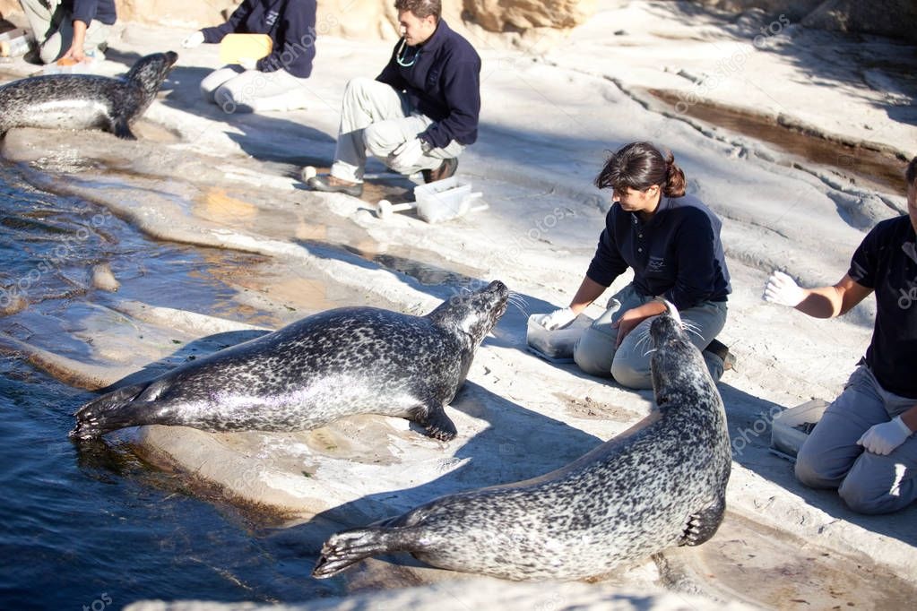 VALENCIA, SPAIN - NOVEMBER 3, 2010: staff of the nature Park feed the seals with fish.