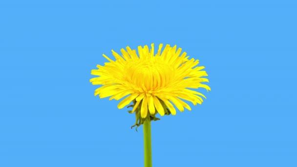 4k čas propadák Dandelví květiny