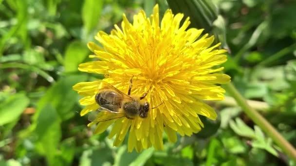 Honey Bee collecting pollen of flower