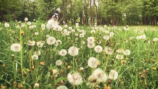 Australian Shepherd Dog on field