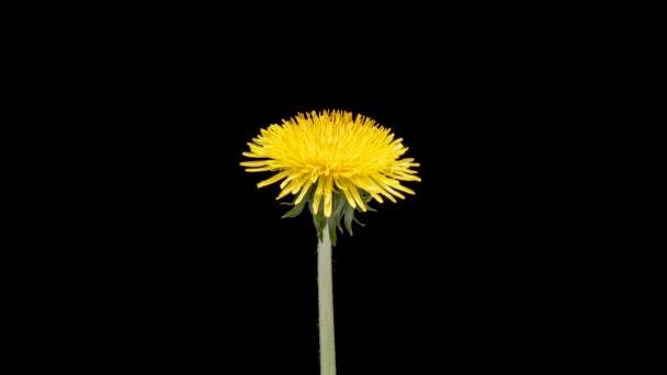 4K Time Lapse of Dandelion Flower. Kvetoucí pampelišková hlava Žlutého květu. Makro záběr na černém pozadí. Včasná jarní scéna ve studiu.