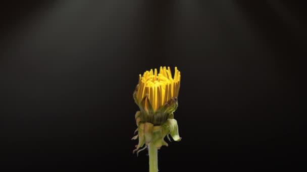 Časová prodleva Pampelišky otevřena. Žlutá Květinová hlava pampelišky odhalena - pyl letí nad květinou. Makro záběr na černém pozadí. Včasná jarní scéna ve studiu.