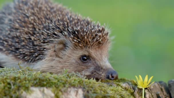 Young hedgehog in forest