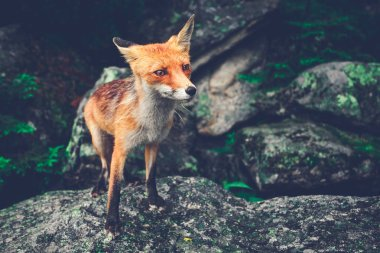 Little fox standing on the boulder. The Tatras.