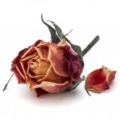 sušené růže květ hlava izolovaných na bílém pozadí výřez