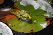 Fotografie Natürliche Sumpf mit Seerosen und Frosch
