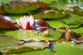 Fotografia Natural swamp with water lilies and frog