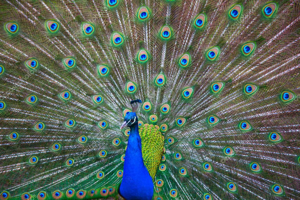 Colourful male peacock with fluffy tail.