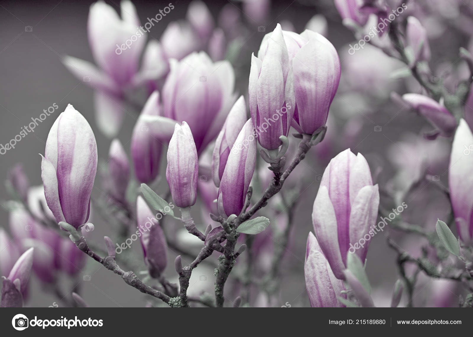 Pink And White Magnolia Flowers Stock Photo Anegada 215189880