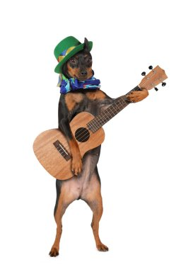Miniature Pinscher dog with a hat playing ukulele. isolated on white backgroun